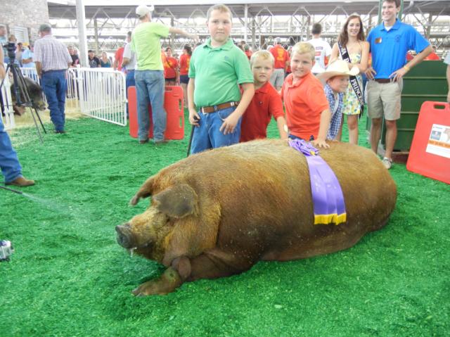 fair hog